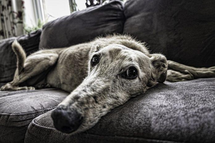 aspira peli cane