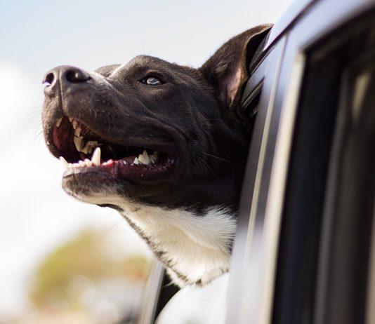 telo auto cane