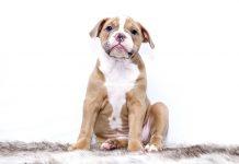 Malassezia cane