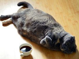 gatti obesi