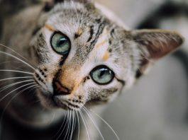 vermi gatto