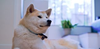 cane giapponese - esterno
