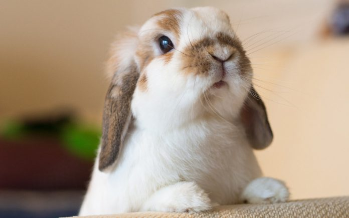 coniglio ariete - esterno