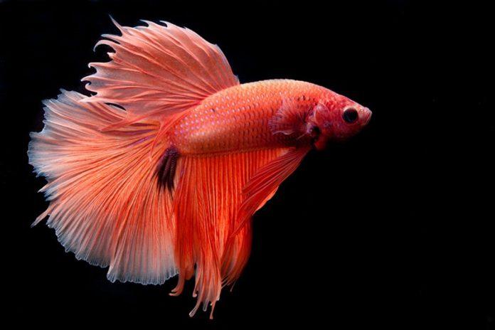 pesce combattente - esterno