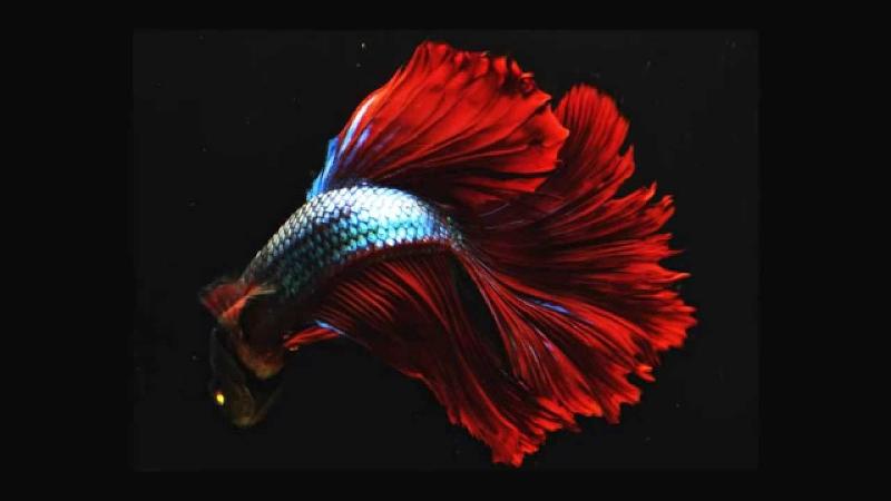 pesce combattente - interno